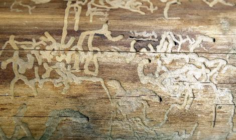 houtaantasters